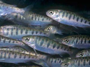 salmon-spawn-1