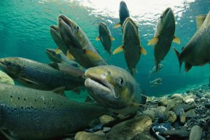 A group of Atlantic salmon (Salmo salar) swimming upriver to spawn, Canada.